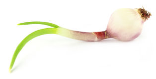 Peeled onion sprout Stock Photo