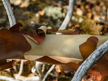 Peeling Arbutus Bark. A branch of an Arbutus tree peeling its bark on Rum Island in southern BC Stock Image