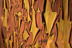 Peeling Bark on an Arbutus Tree. The peeling bark of an arbutus tree fills the background Royalty Free Stock Image