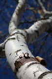 Peeling Bark on Birch - Narrow Focus. Looking up trunk of birch tree with peeling bark at bottom - narrow focus stock photography