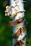 The peeling bark of a birch tree trunk with a green background Stock Photo