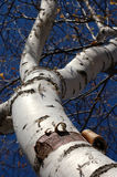 Peeling Bark on Birch - Wide Focus. Looking up birch tree with peeling bark at bottom - wide focus stock image