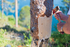 Peeling Bark Stock Images