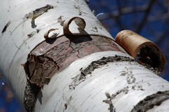Peeling Birch Bark. Peeling bark detail on birch tree stock photo