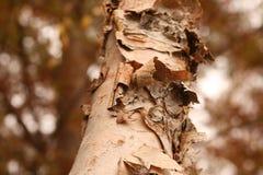 Peeling Birch Tree Bark. Close up image of a Birch Tree peeling in mid Fall Stock Photo