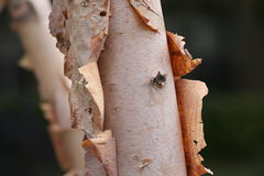 Peeling Birch Trees. Close up image of a Birch Tree peeling in mid Fall Royalty Free Stock Photo