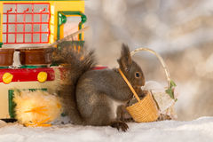 Peeling eggs. Close up of red squirrel standing  in a kitchen  with a basket with broken eggs Royalty Free Stock Image