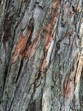 Peeling maple tree bark pattern texture close-up. Close-up image of brown and gray Treebark peeling and natural texture. Pattern of nature and park seen Royalty Free Stock Photography