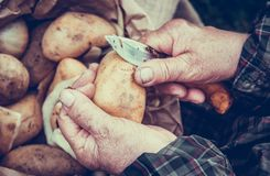 Peeling potatoes. Old hands peeling potatoes. Elderly hands royalty free stock images