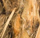 Peeling stringy bark of tree growing in plantation in Kauai Royalty Free Stock Photos