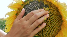 Peeling the sunflower to see the seeds