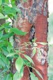 Peeling Tree Bark  Royalty Free Stock Photography
