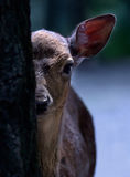 Peep-bo. A jung deer is peeping watchfuly from behind a tree Royalty Free Stock Photography