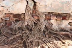 peepal树老根在墙壁里面的 库存图片