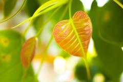Peepal Blätter lizenzfreie stockfotos