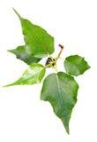 (Peepal) Blätter der heiligen Feige Stockbild