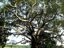Peepal drzewo lub zdjęcie stock