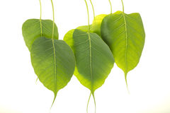 Peepal leaves Stock Photos