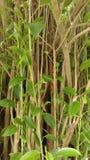 Peepal tree Stock Photos
