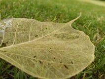 Peepal växt Fotografering för Bildbyråer