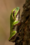 Peeper. Is sitting on the tree Royalty Free Stock Photography