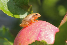 Peeper van de lente kikker (kruisbloemige Pseudacris) Stock Fotografie