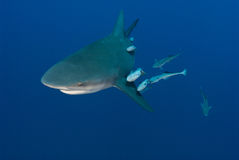 Peeping bullshark Stock Photography