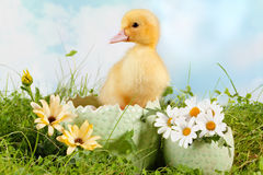Peeping easter duckling Royalty Free Stock Images