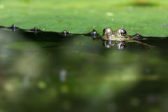 Peeping frog. Stealthy green frog peeping out of water's surface Stock Photo