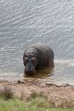 Peeping hippo Royalty Free Stock Photo