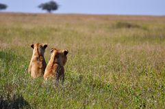 Peeping Lions. Two lions in The Serengeti, Africa Royalty Free Stock Photo