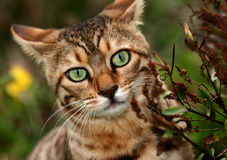 Peeping Out. Bengali special breed kitten peeping out from beside a hebe bush stock image