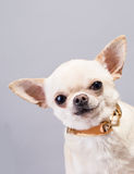 Peeping out cute small dog Royalty Free Stock Photo