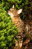 Peeping Over. A Bengali special breed kitten with luminous green eyes peeping over a hebe bush in a flowerbed stock photos