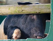 Peeping pig Stock Photography