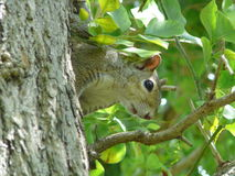 Peeping Squirel. Squirel in Tree stock image