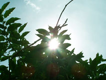Peeping Sun. Noni tree with sunrays Royalty Free Stock Photos