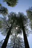 Peeping sun through tall giant pine trees. Sun peeping through tall pine trees Stock Photography