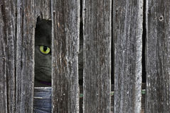 peeking cat in barn wood hole Stock Photography