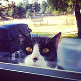 Peeping Tom. A cat spying in the window Royalty Free Stock Photography