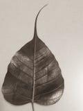 Peeple liść Zdjęcie Stock