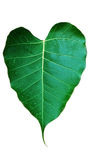 Peepul leaf isolation Stock Photos