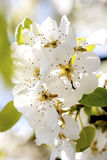 Peer flowers on spring time. Beautiful peer flowers close up detail Stock Images