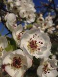 Peer het bloeien stock afbeeldingen