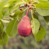 Peer op een tak van perenboom Stock Foto's