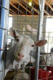 Peering goat Royalty Free Stock Photos