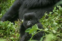 Peering gorilla baby Royalty Free Stock Photo