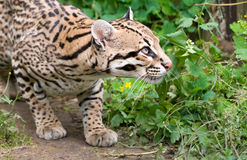 Peering ocelot. An ocelot, photgraphed at the Santago rare leopard breeding centre Stock Photo