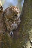 Peering owl Stock Photos