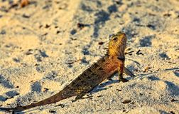 Peery looking lizard Royalty Free Stock Photography